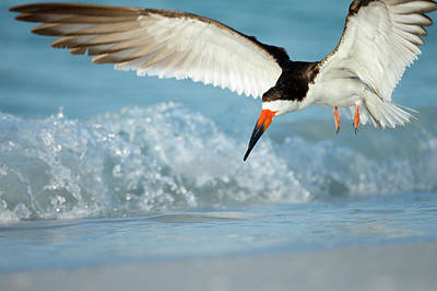 Black Skimmers Photograph - Black Skimmer Coming In For A Landing by Maresa Pryor