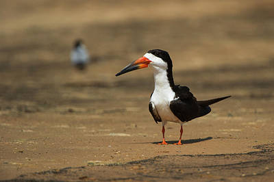 Black Skimmers Photograph - Black Skimmer (ryncops Niger by Pete Oxford