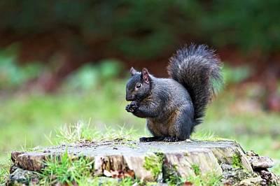 Eastern Grey Squirrel Photograph - Black Squirrel Eating A Nut by John Devries