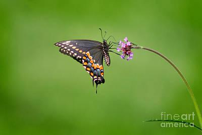 Photograph - Black Swallowtail Butterfly  by Karen Adams