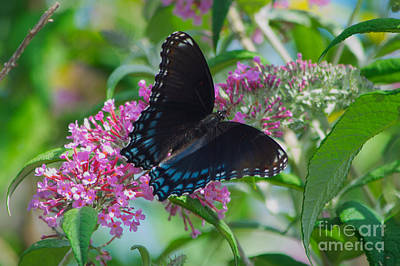 Photograph - Black Swallowtail Butterfly by Mark Dodd