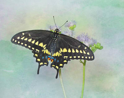 Photograph - Black Swallowtail by David and Carol Kelly