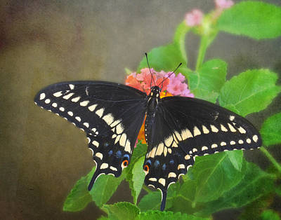 Photograph - Black Swallowtail On Lantana by David and Carol Kelly