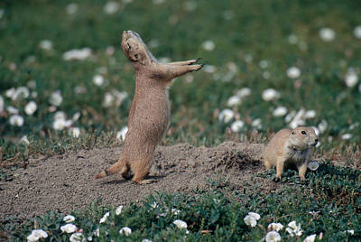 Photograph - Black-tailed Prairie Dog Calling by Thomas And Pat Leeson