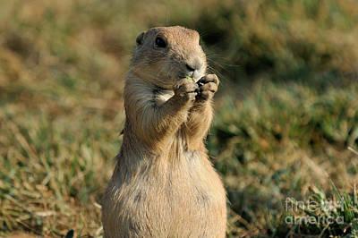 Prairie Dogs Photograph - Black-tailed Prairie Dog by George Atsametakis