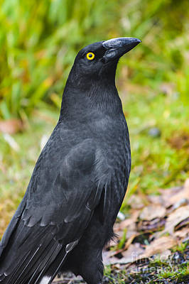 Black Tasmanian Crow Standing In Green Forest Art Print
