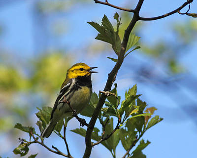 Photograph - Black-throated Green Warbler by Brian Magnier