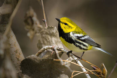 Photograph - Black Throated Green Warbler by Jack R Perry