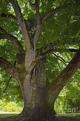 Walnut Tree Photograph - Black Walnut Juglans Nigra Tree by Bob Gibbons