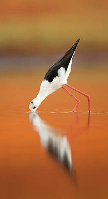 Black-winged Stilt Himantopus Himantopus Art Print by Photostock-israel