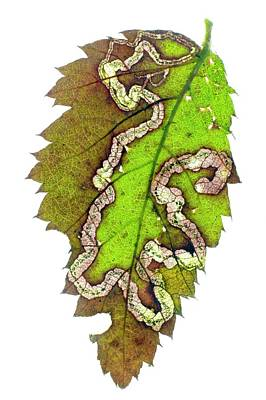 Blackberries Wall Art - Photograph - Blackberry Leaf-miner Tunnel by Dr Jeremy Burgess