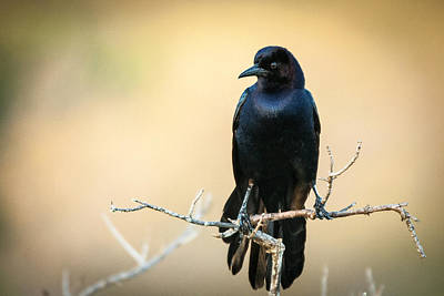 Photograph - Blackbird On Twig by Celso Diniz
