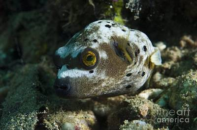 Blackspotted Photograph - Blackspotted Puffer by Matthew Oldfield