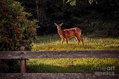 Photograph - Blacktail Doe by Robert Bales