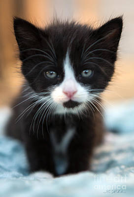 Animals Photos - Black and white Kitten by Iris Richardson