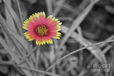 Photograph - Blanket Flower by Terri Mills