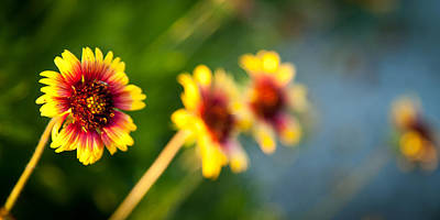Photograph - Blanket Flowers by Celso Diniz