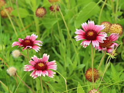 Daisy Photograph - Blanketflower 7 by Cathy Lindsey