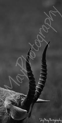 Blesbok Wall Art - Photograph - Blesbok by Sky Noton