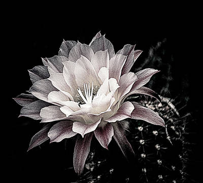 Blooming Cactus Art Print by Julie Palencia