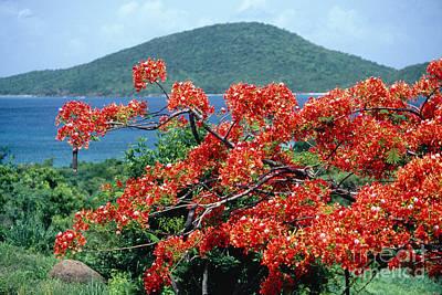 Blooming Flamboyan Tree  Art Print