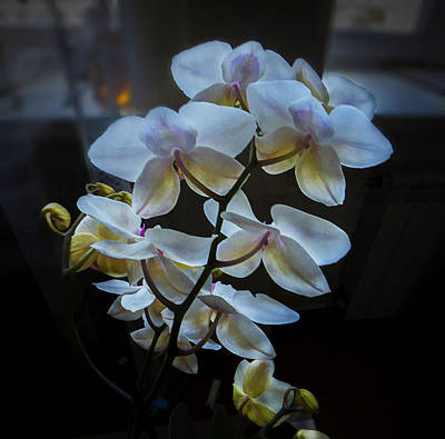 Photograph - Blooming Orchid by Vladimir Kholostykh