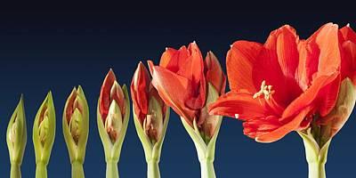 Blossoming Amaryllis Flower Art Print