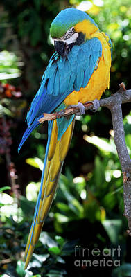 Blue And Yellow Macaw Art Print by Millard H. Sharp