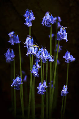 Blue Bells Art Print by Svetlana Sewell