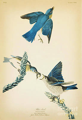 Animals Drawings - Blue Bird by Celestial Images