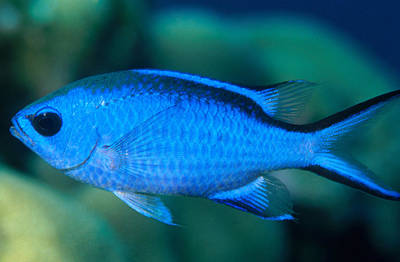 Photograph - Blue Chromis by Charles Angelo