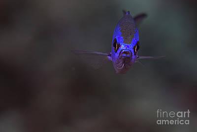 Photograph - Blue Chromis by JT Lewis