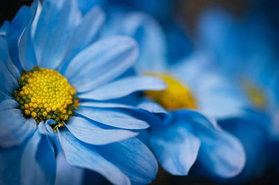 Photograph - Blue Daisy Trio by Kasandra Sproson