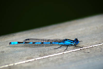 Photograph - Blue Damselfly by Chris Day