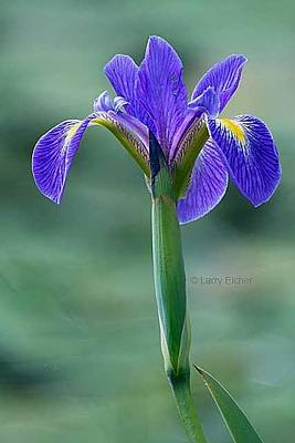Photograph - Blue Flag Iris by Larry Eicher