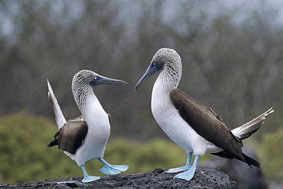 Blue-footed Boobies Courting Galapagos Art Print by Tui De Roy