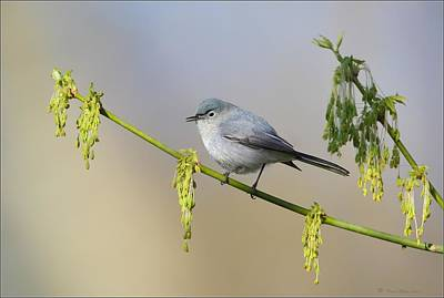 Warbler Digital Art - Blue Gray Gnatcatcher by Daniel Behm