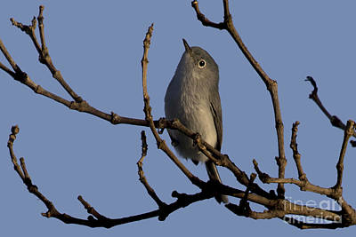 Photograph - Blue Gray Gnatcatcher by Meg Rousher