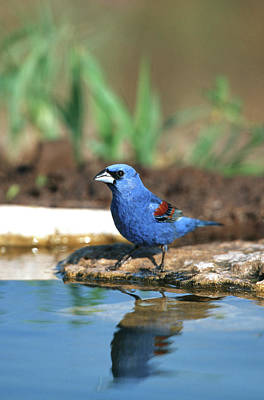 Neotropical Photograph - Blue Grosbeak (guiraca Caerulea by Richard and Susan Day