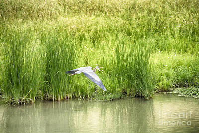 Heron Photograph - Blue Heron In Flight by Douglas Barnard