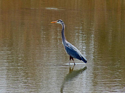Photograph - Blue Heron Stalk by Thomas Samida