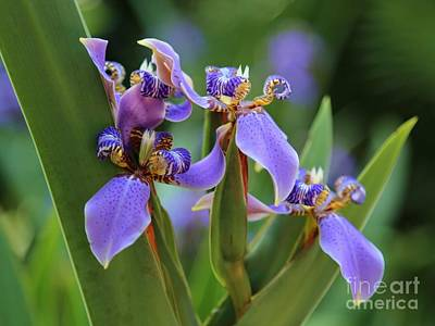 Photograph - Blue Iris Drama by Carol Groenen