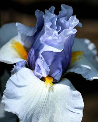 Photograph - Blue Iris by Maria Urso
