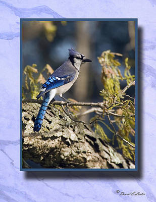 Photograph - Blue Jay 4 by David Lester
