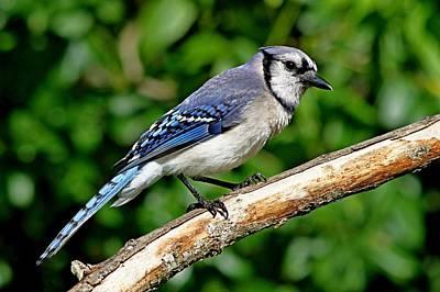 Photograph - Blue Jay by Ira Runyan