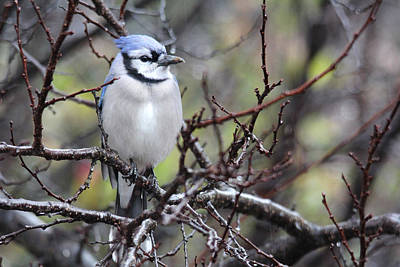 Photograph - Blue Jay On A Rainy Day by Trina  Ansel
