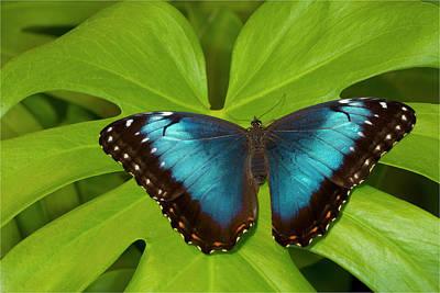 Morpho Wall Art - Photograph - Blue Morpho Butterfly by Darrell Gulin