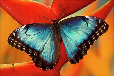 Morpho Wall Art - Photograph - Blue Morpho Butterfly, Morpho Peleides by Darrell Gulin