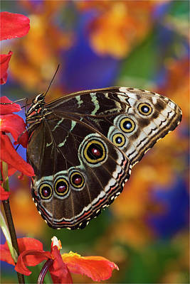 Morpho Wall Art - Photograph - Blue Morpho Butterfly On Orchid by Darrell Gulin
