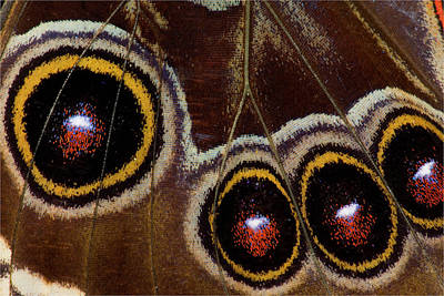 Morpho Wall Art - Photograph - Blue Morpho Butterfly Wings Closed by Darrell Gulin